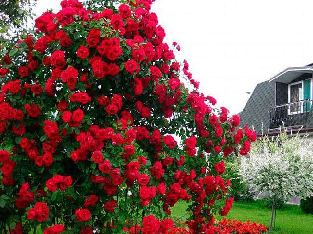 Красный куст роз