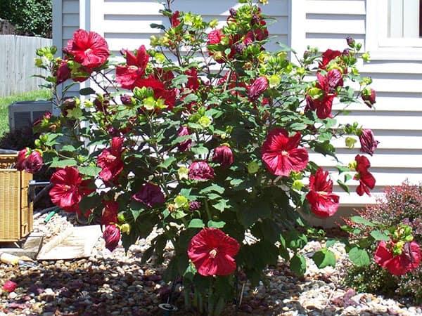 Красная сирийская роза