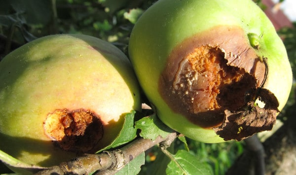 Гниль на яблоке