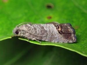 Плодожорка бабочка