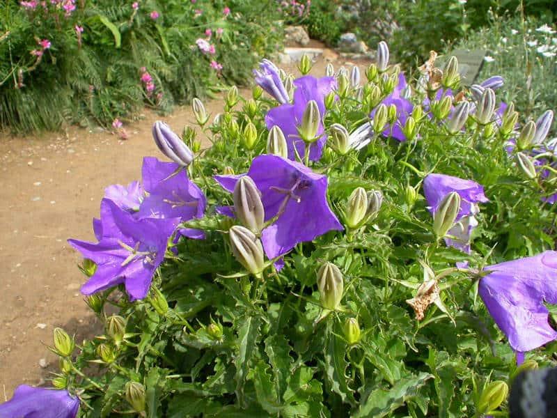 Как вырастить из семян карпатский колокольчик — Мир цветов