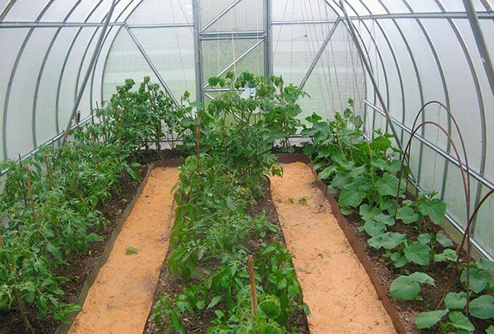 Как, и можно ли сажать помидоры и огурцы в одной теплице?