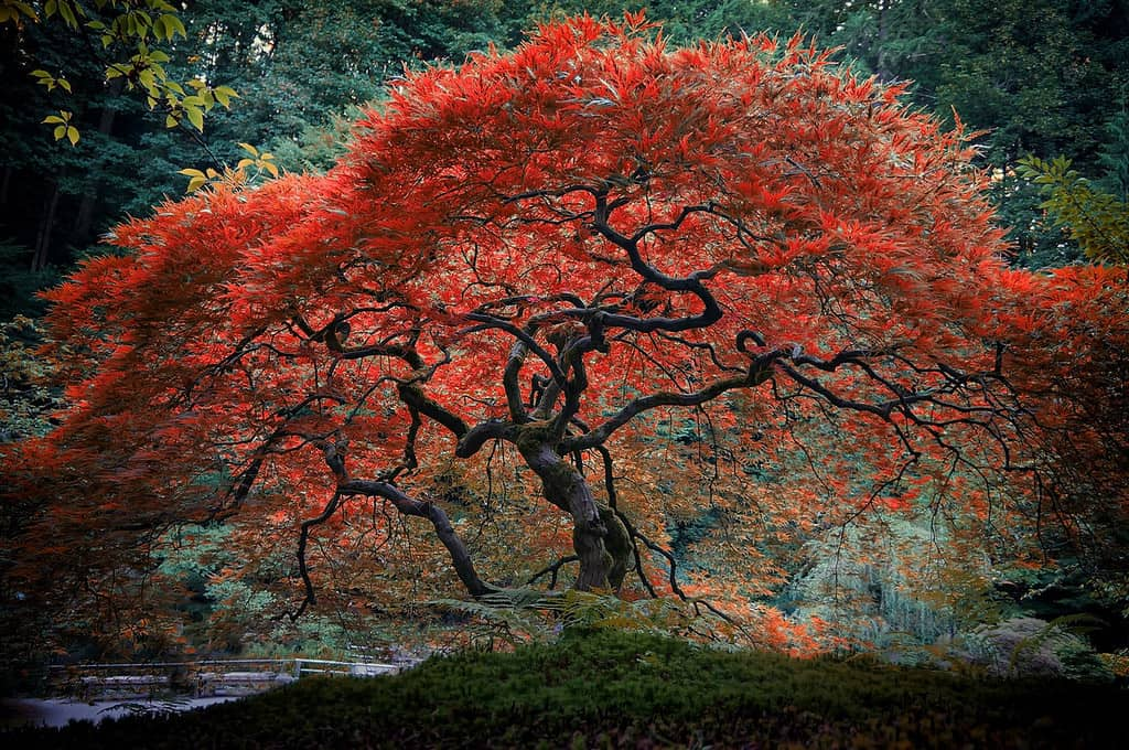 Клен японский дланевидный веерный красный. Acer palmatum Dissectum