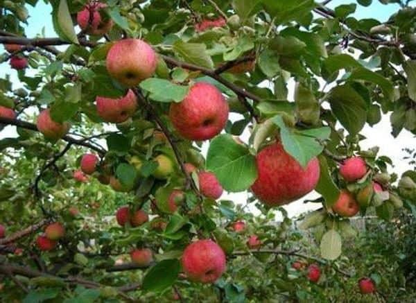 Сорт яблони Джонатан (Хорошавка зимняя, мовское
