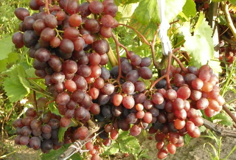Виноград Виктория особенности выращивания
