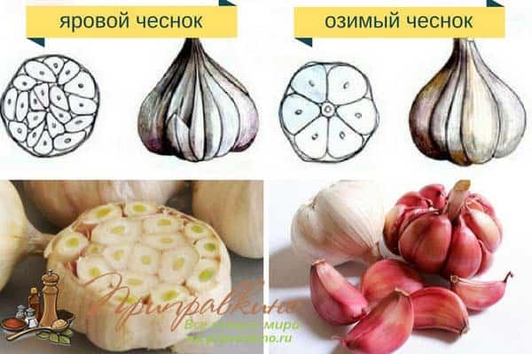 Когда сажать чеснок весной и осенью: Яровой и озимый чеснок