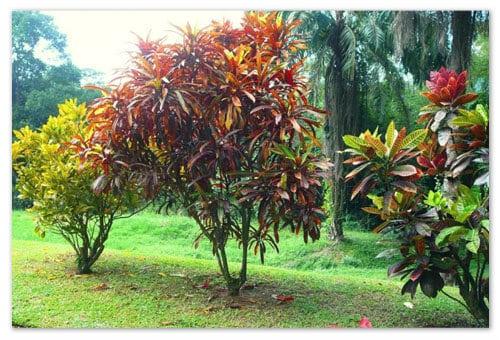 Как размножить кротон черенками и листьями в домашних условиях