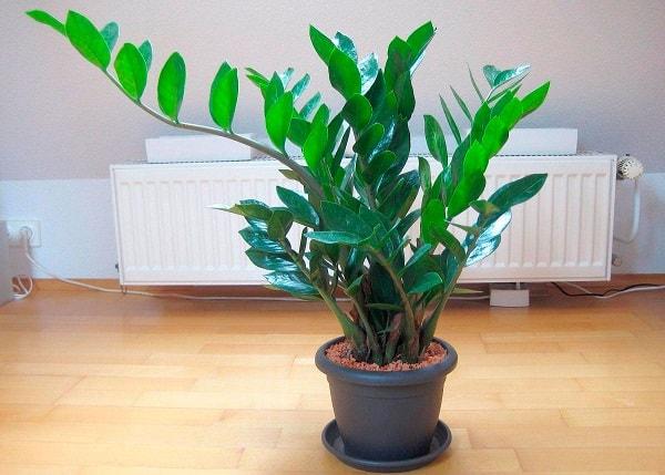 Долларовое дерево: уход и размножение в домашних условиях