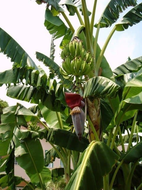 Банан в дикой природе