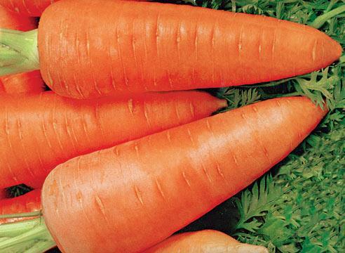 Морковка семена лучшие сорта