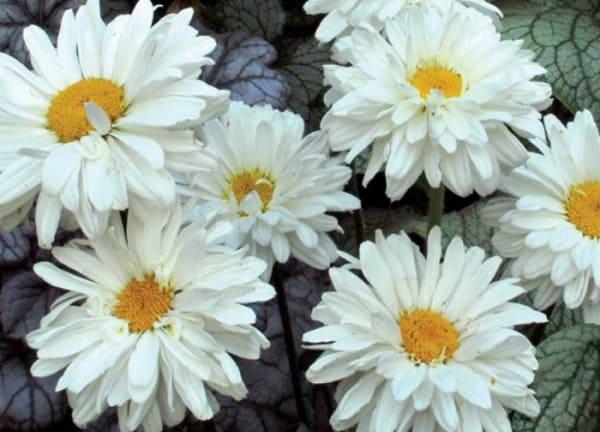 Ромашки многолетние садовые фото