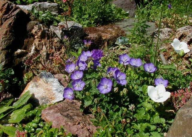 Цветок среди камней