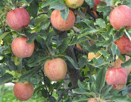 Яблоня гала описание сорта фото отзывы садоводов