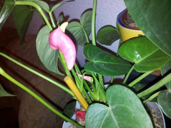 Мужское счастье уход за цветком в домашних условиях, фото