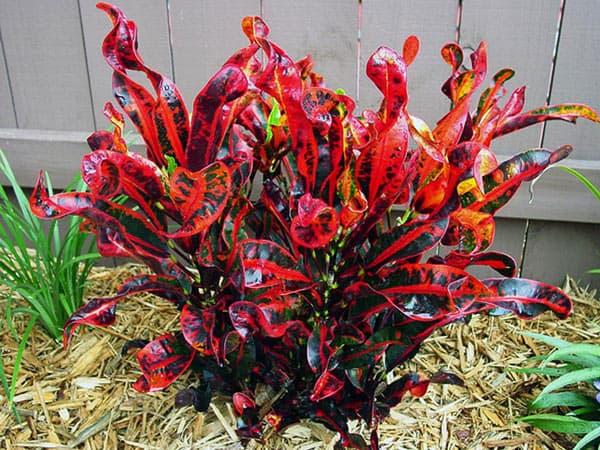 Как укоренить кротон — О цветах