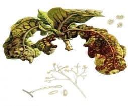 Пероноспороз листьев табака