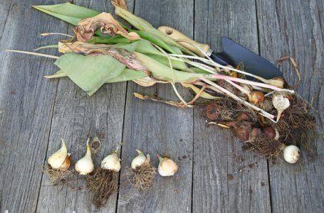 Луковицы растения