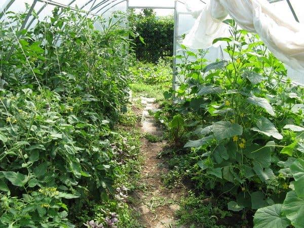 Посадка огурцов и помидоров в одной теплице