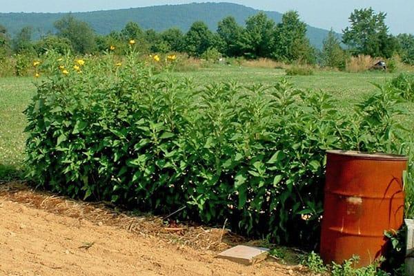 Как выращивать топинамбур в открытом грунте