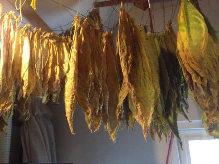 Просушивание листьев табака