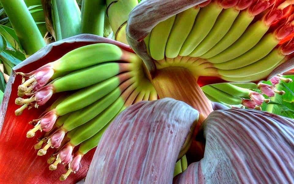 Плоды банана