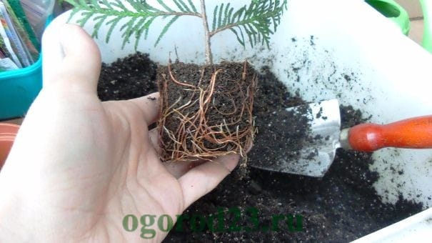 Туя западная Даника (Danica): фото и описание, размеры взрослого дерева