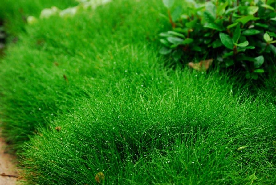 Озеленение овсяницей