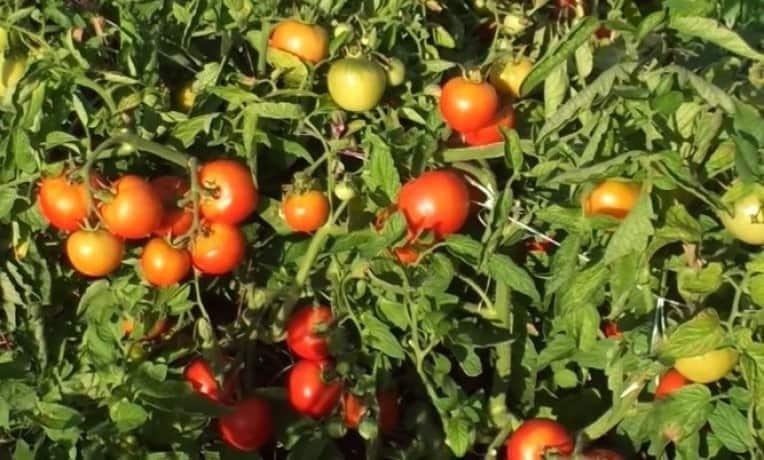 Томат Ляна – отзывы садоводов, характеристики и описание сорта, фото помидоров