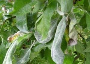 Мучнистая роса груш
