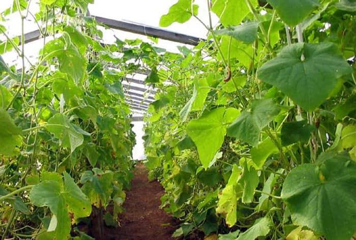 Как посадить в теплице огурцы и помидоры