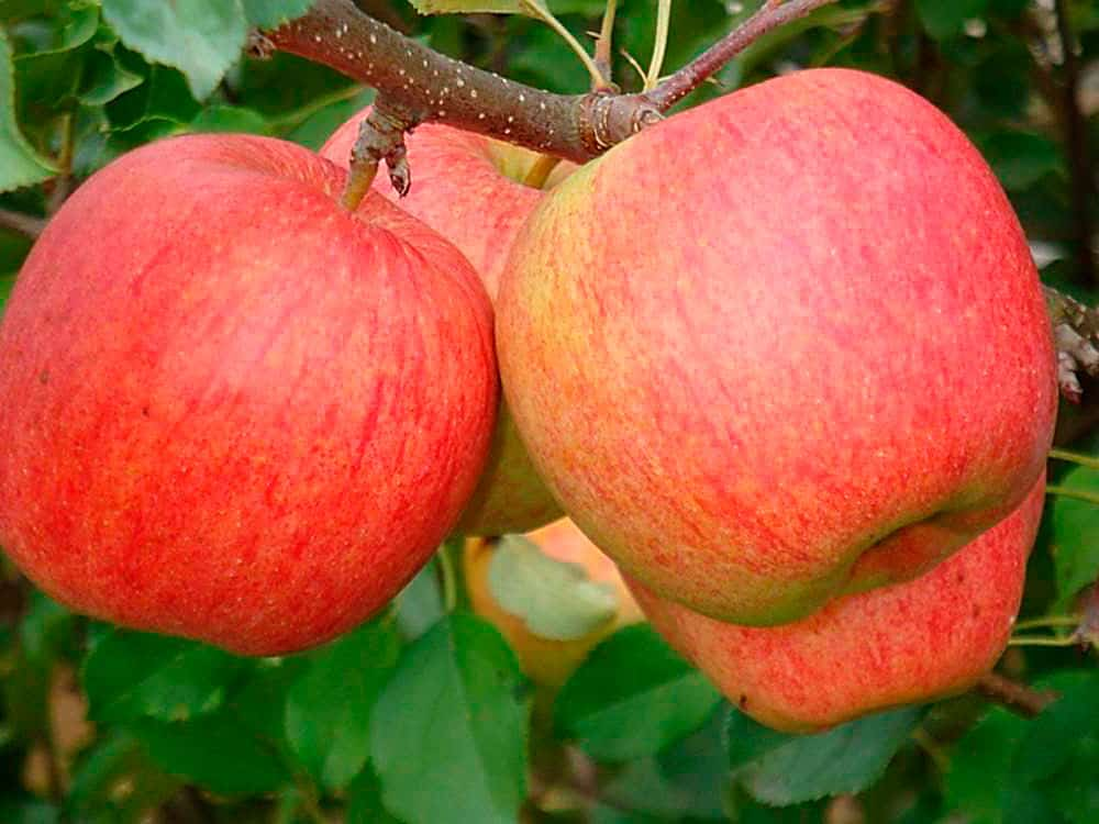 того что яблоня чемпион описание сорта фото отзывы исиока