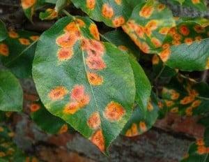 Ржавчина листьев у груши