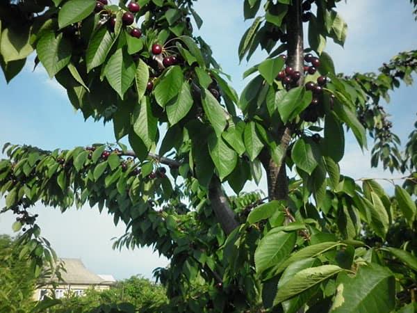 Дерево на даче