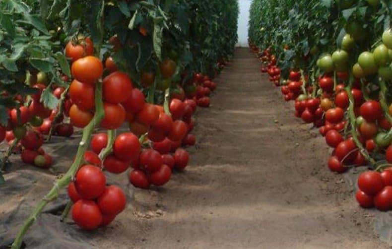 Расстояние между помидорами в теплице и открытом грунте