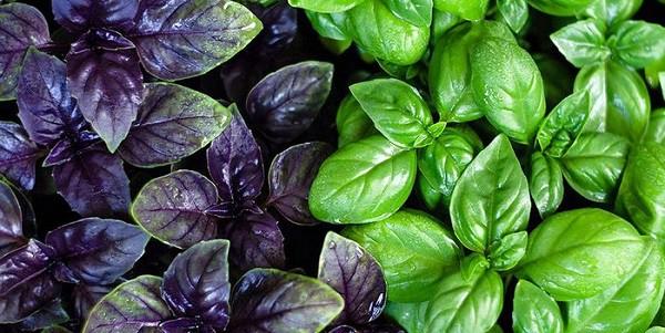 Выращивание базилика фиолетового из семян