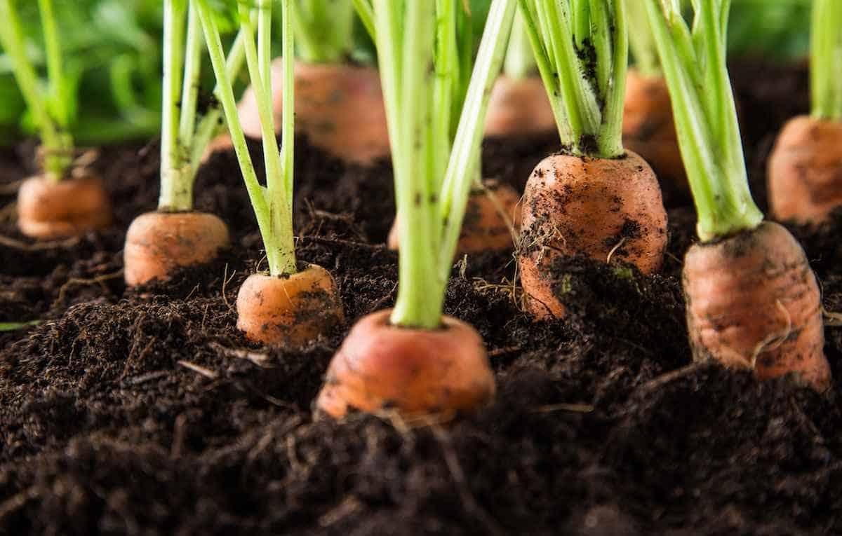 Почему морковь корявая и как этого избежать — Дачные