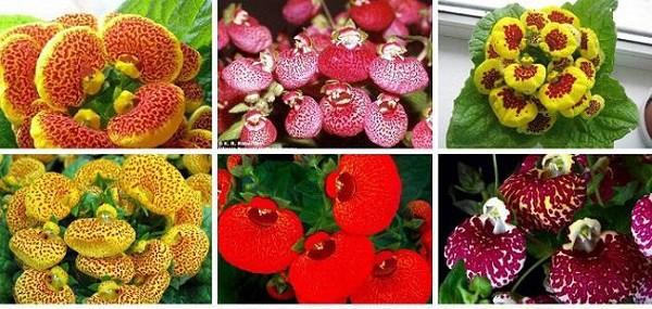 Кальцеолярия уход в домашних условиях выращивание из семян