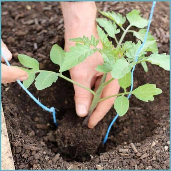 Как высадить рассаду томатов в теплицу правильно