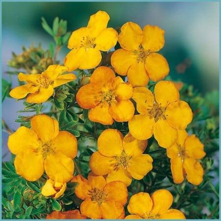 Растение лапчатка его виды и сорта