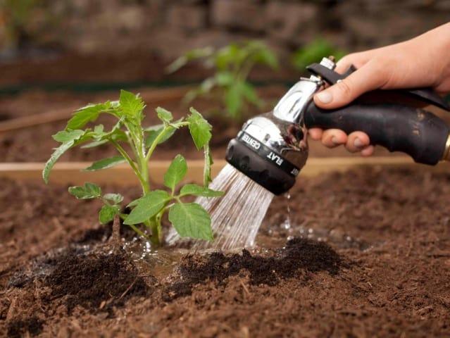 Сохнут листья у рассады помидор что делать: томаты почему нижние засыхают, сохнут цветы и кончики завязи