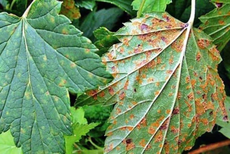 У черной смородины краснеют листья что делать