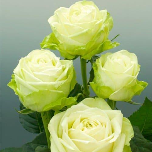 кусты зеленых роз