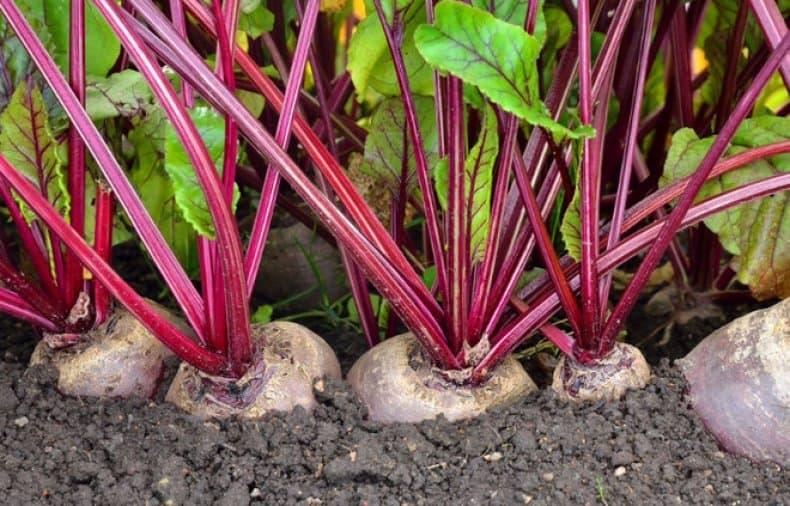 Чем подкормить свеклу для роста и хорошего урожая в открытом грунте
