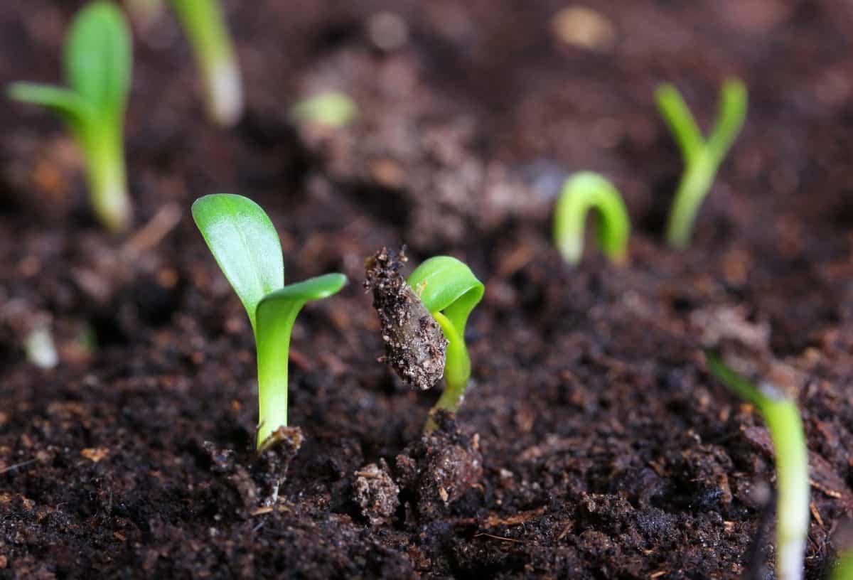 Когда лучше всего сажать огурцы семенами в открытый грунт в июне: благоприятные и неблагоприятные дни для посева