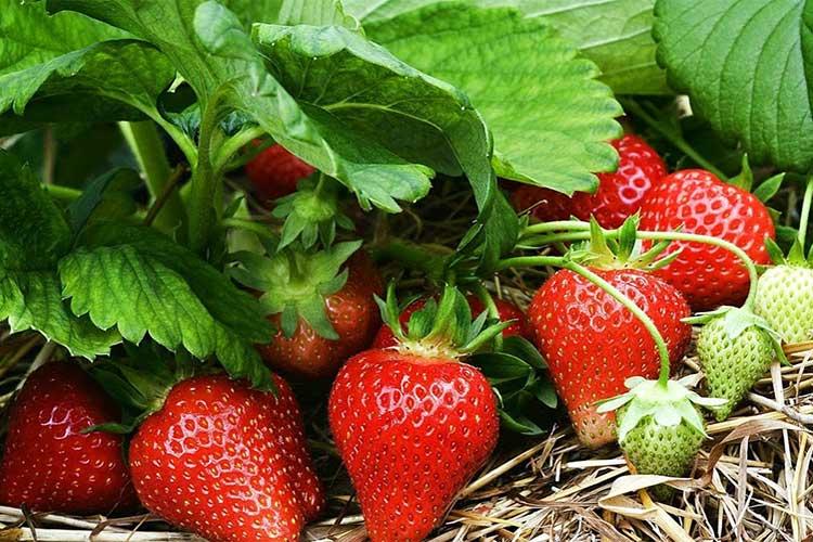 Чем подкормить клубнику во время цветения • удобряем клубнику летом