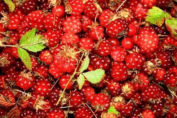 Княженика ягода посадка и уход: фото растения