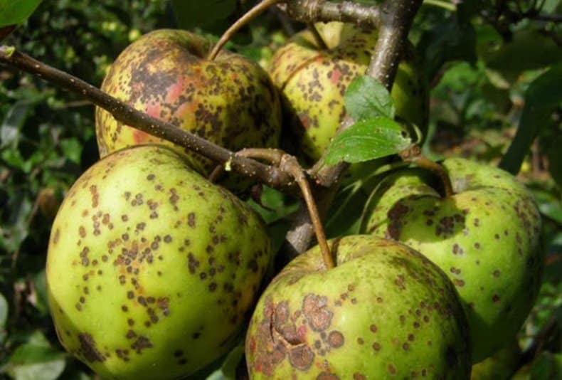 Парша яблони профилактика лечение