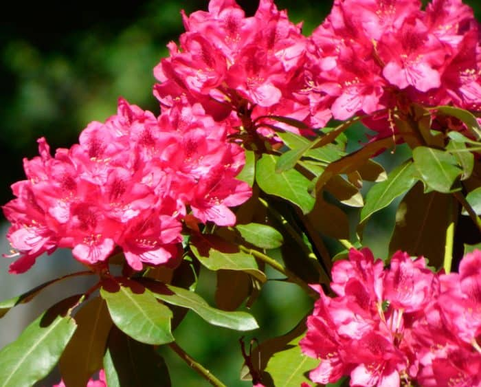 Цветок рододендрон садовый фото