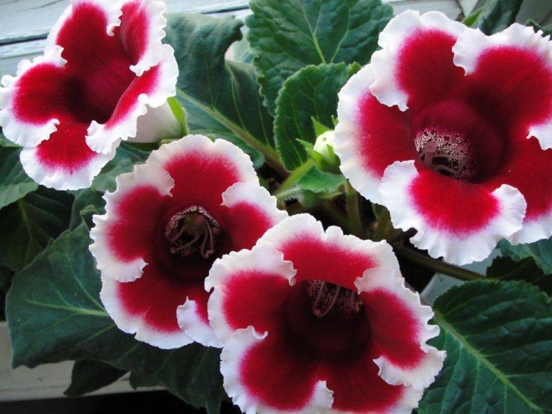 Глоксиния 100 фото цветов - уход, размножение, посадка,виды