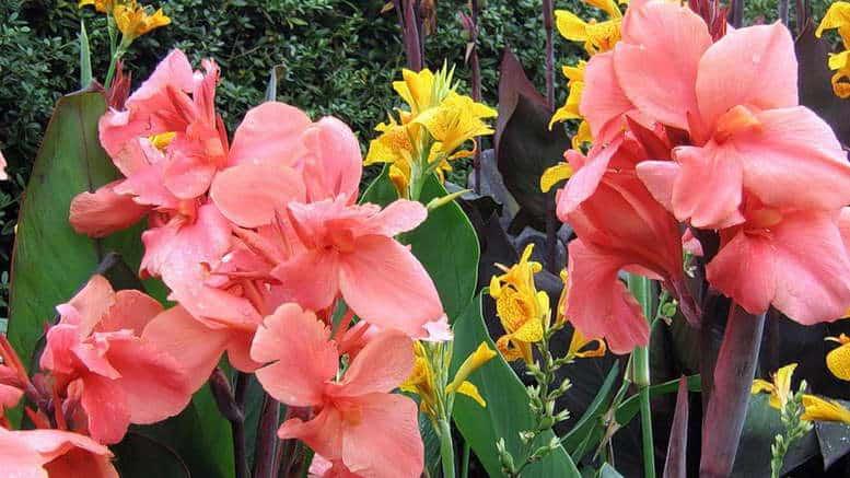 Показать цветы канны